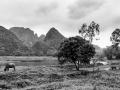Water Buffalo Hoa Lu Vietnam B&W