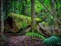 Mt Cougal Fallen Tree Springbrook National Park